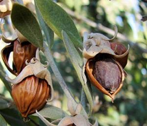 jojobaplant